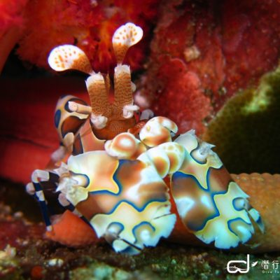 batch_Richelieu Rock - Harlequin Shrimp (2) 拷貝