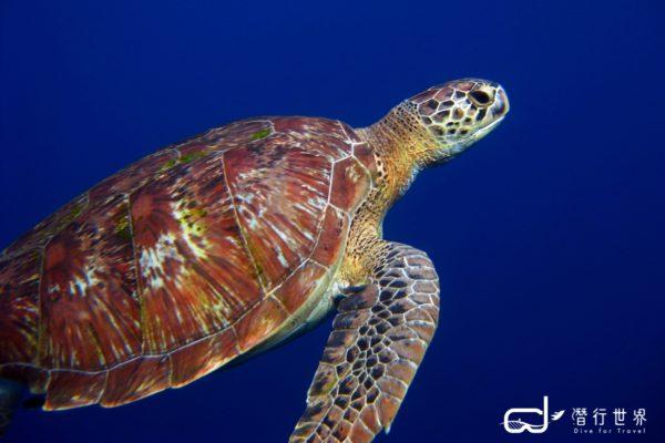 batch_Similan Islands, Christmas Point - Green Turtle (2) 拷貝