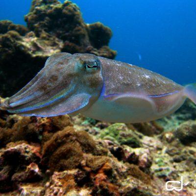 batch_Similan Islands, North Point - Broadclub Cuttlefish 拷貝