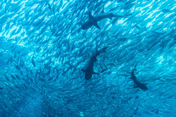 1280px-Jack_fish_and_reef_sharks