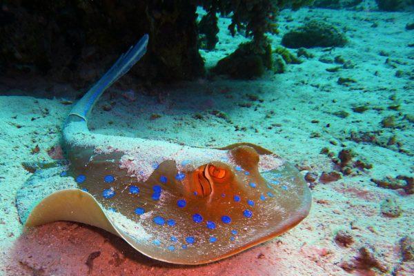 blue-spotted-stingrays-380035_1280