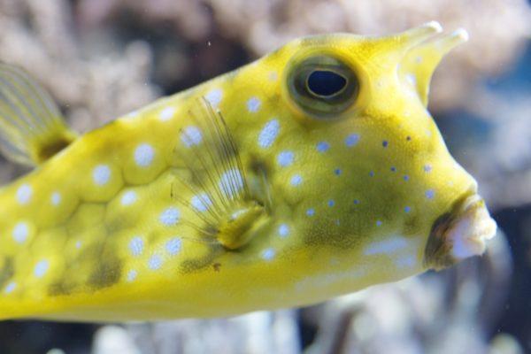 boxfish-332111_1280